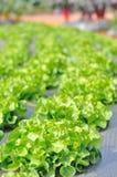 Поле салата Стоковая Фотография RF