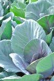 Поле салата Стоковые Изображения RF