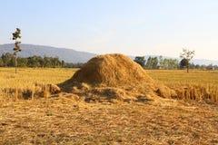 поле сжало рис Стоковое фото RF
