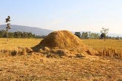 поле сжало рис Стоковое Изображение