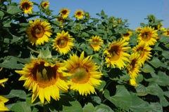 Поле солнцецвета венгерское, красивый солнцецвет Стоковые Изображения RF