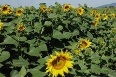 Поле солнцецвета венгерское, красивый солнцецвет Стоковая Фотография
