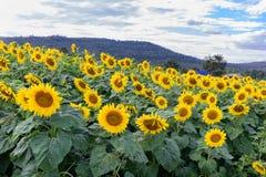 Поле солнцецвета во время сияющего дня с голубым небом Стоковое Фото