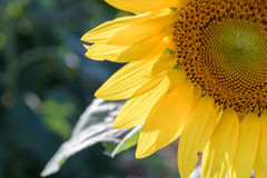 Поле солнцецвета во время сияющего дня стоковое изображение