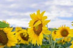 Поле солнцецвета во время сияющего дня Стоковое Фото