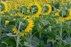 Поле солнцецвета во время сияющего дня Стоковые Изображения RF