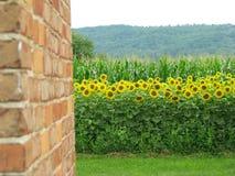 Поле солнцецвета в стране стоковое фото rf