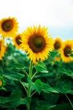 Поле солнцецвета лета Поле солнцецветов с голубым небом Поле солнцецвета на заходе солнца Стоковое Изображение RF
