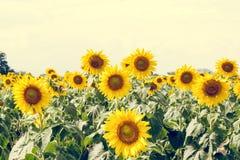 Поле солнцецвета лета Поле солнцецветов с голубым небом Солнце Стоковое Фото