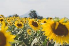 Поле солнцецвета лета Поле солнцецветов с голубым небом Солнце Стоковая Фотография RF