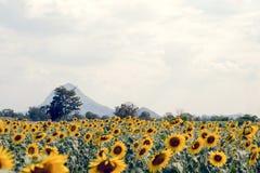 Поле солнцецвета лета Поле солнцецветов с голубым небом Солнце Стоковая Фотография