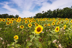 Поле солнцецвета лета стоковая фотография rf