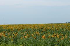 Поле солнцецвета лета Стоковое фото RF