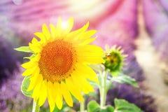 Поле солнцецвета и лаванды Стоковые Фотографии RF