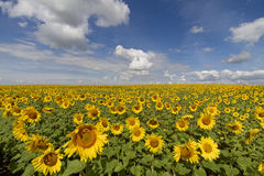 Поле солнцецвета и голубое небо Стоковые Изображения RF