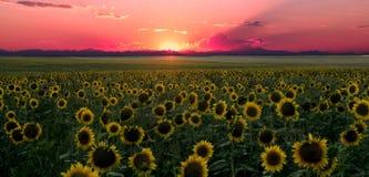 Поле солнцецвета на заходе солнца в скалистых горах Стоковое Изображение RF