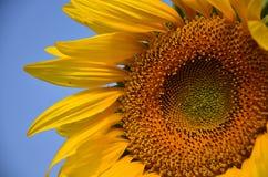 Поле солнцецвета на Saraburi Таиланде Стоковые Изображения RF
