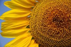 Поле солнцецвета на Saraburi Таиланде Стоковое фото RF