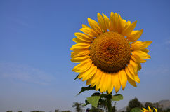 Поле солнцецвета на Saraburi Таиланде Стоковая Фотография RF