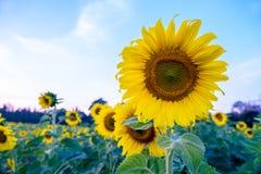 Поле солнцецвета под голубым небом стоковое фото