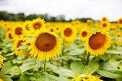 Поле солнцецвета, Провансаль в южной Франции стоковые фотографии rf