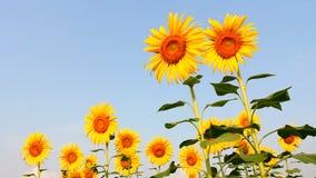 Поле солнцецвета, пчела на солнцецвете видеоматериал