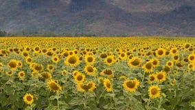 Поле солнцецвета, солнцецвет полного цветения Стоковая Фотография RF