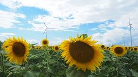 Поле солнцецвета с мельницей ветра в задней части видеоматериал