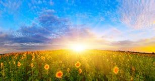 Поле солнцецвета утра Стоковое фото RF