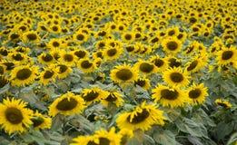Поле солнцецвета фабрики молока TH истинной стоковое фото