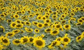 Поле солнцецвета фабрики молока TH истинной стоковая фотография
