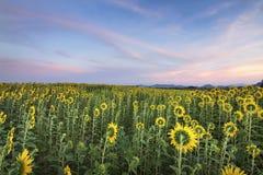 Поле солнцецвета стоковое фото rf
