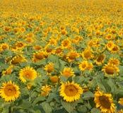 Поле солнцецвета Стоковые Фото