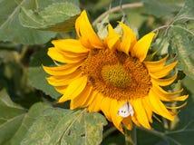 Поле солнцецвета Стоковое Изображение RF