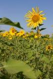 Поле солнцецвета Стоковое Фото