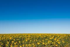 Поле солнцецветов, высокого горизонта и предпосылки из фокуса Стоковое Изображение RF