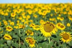 Поле солнцецветов, высокого горизонта и предпосылки из фокуса Стоковое Изображение