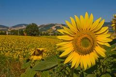 Поле солнцецветов Стоковые Фотографии RF