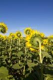 Поле солнцецветов в солнечном дне Стоковые Изображения
