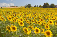 Поле солнцецветов в цветени Стоковое Изображение RF