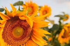 Поле солнцецветов на восходе солнца Стоковое Изображение