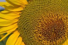 Поле солнцецветов на восходе солнца Стоковое фото RF