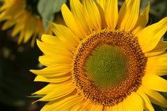 Поле солнцецветов на восходе солнца Стоковые Изображения RF