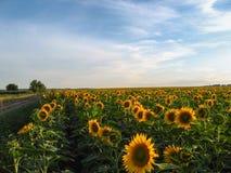 Поле солнцецветов на небе предпосылки красивом Стоковое Изображение RF