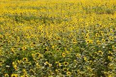 Поле с солнцецветом Стоковые Изображения
