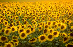 Поле солнцецветов около Arles в Провансали стоковые изображения