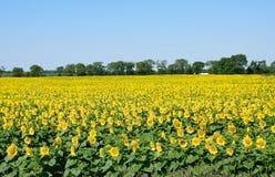 Поле солнцецветов. Состав природы. Поле солнцецвета над голубым небом с космосом для текста и рекламы, поля солнцецвета Стоковая Фотография RF