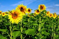 Поле солнцецветов Стоковые Изображения RF