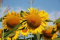 Поле солнцецветов Стоковое Фото