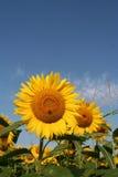 Поле солнцецветов Стоковые Изображения